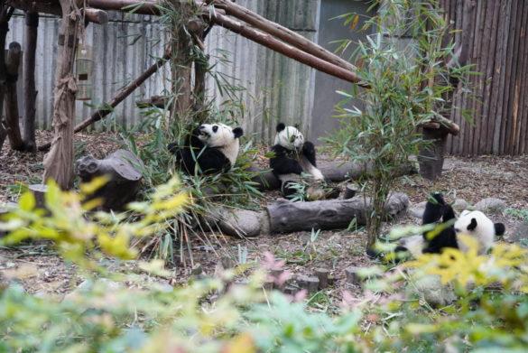 dsc05037 585x391 - 赤ちゃんパンダに会いに行こう!成都観光で外せないパンダ基地